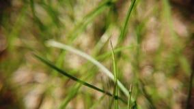 被损坏的草坪在冬天以后 影视素材