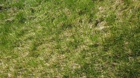 被损坏的草坪在冬天以后 股票视频
