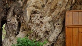 被损坏的,长得太大的树 影视素材