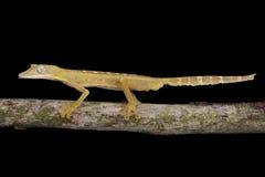 被排行的平尾巴壁虎(Uroplatus lineatus) 免版税库存照片