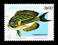 被排行的矛状棘鱼叶形装饰板lineatus,热带鱼serie,大约1979年 免版税库存照片