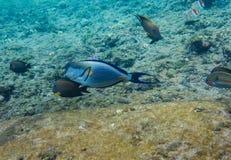 被排行的矛状棘鱼在红海 免版税图库摄影