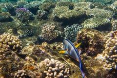 被排行的矛状棘鱼 免版税库存照片