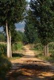 被排行的路径白扬树 免版税图库摄影