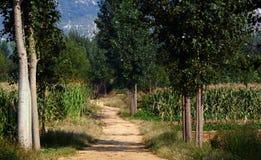 被排行的路径白扬树 免版税库存图片