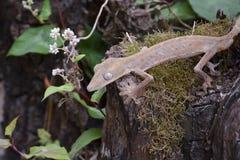 被排行的leaftail壁虎(Uroplatus),马达加斯加 免版税库存照片
