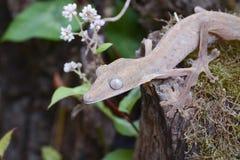 被排行的leaftail壁虎(Uroplatus),马达加斯加 免版税库存图片