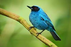 被掩没的花钻孔器, Diglossa cyanea,与黑头,动物在自然栖所,绿色背景,厄瓜多尔的蓝色热带海鸟 库存照片