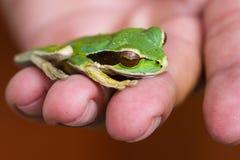 被掩没的青蛙或被掩没的岩石青蛙Litoria personata 免版税库存照片