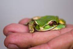 被掩没的青蛙或被掩没的岩石青蛙Litoria personata 库存照片
