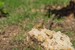 被掩没的鬣鳞蜥 免版税图库摄影