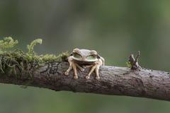 被掩没的Treefrog 图库摄影