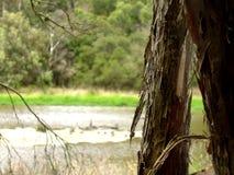 被撕毁的树皮在Mornington,维多利亚,澳大利亚 库存图片