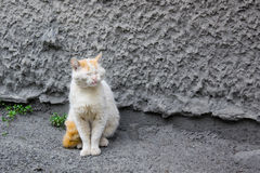 被撕碎的二赖子猫老 免版税库存图片