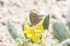 被撕碎的Reakirt&#x27的宏指令; s蓝色Echinargus is00ola在植物栖息 免版税库存照片