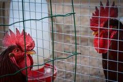 被操刀的两只公鸡雄鸡 免版税库存照片