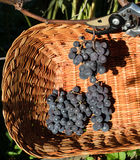 被收获入与柳条筐的黑康科德紫葡萄 免版税库存照片