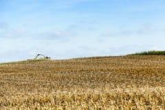 被收获的成熟玉米 免版税图库摄影