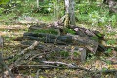 被收获的木头在森林里 库存图片