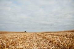 被收获的玉米发茬在农田的 库存图片