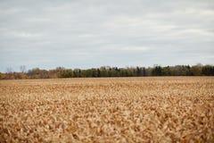 被收获的玉米发茬大英亩在领域的 库存照片