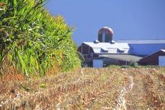 被收获的玉米和庄稼一刈幅的草  库存照片