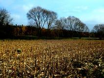 被收获的玉米的农业领域与遗骸的从植物 免版税库存照片