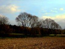 被收获的玉米的农业领域与遗骸的从植物 免版税图库摄影