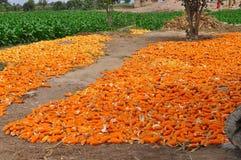 被收获的玉米 图库摄影