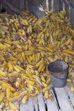 被收获的玉米 库存照片