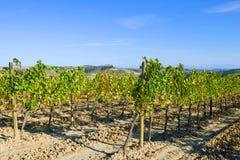 被收获的葡萄园在一晴朗的9月天 意大利托斯卡纳 图库摄影