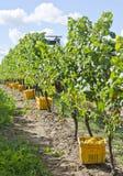 被收获的蕾斯霖白葡萄酒葡萄 免版税库存图片