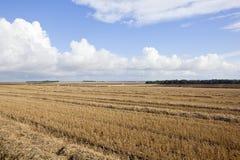 被收获的麦子和森林地 库存图片