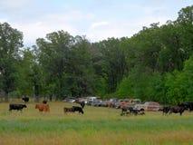 被放弃的生锈的老汽车和牛行  免版税库存图片