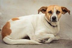 被放弃的街道狗 库存图片