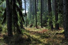 被日光照射了云杉的树森林 免版税库存照片