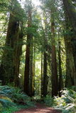 被日光照射了供徒步旅行的小道通过古老红木在大草原Creek红木国家公园,北加利福尼亚 免版税图库摄影