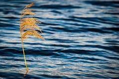 被日光照射了共同的芦苇 库存照片