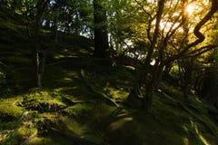 被日光照射了在草和根在森林 免版税库存图片