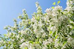 被日光照射了在蓝天背景的春天开花的白色苹果树 库存图片