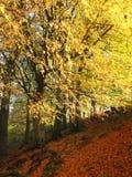 被日光照射了山毛榉森林在与发光的金黄叶子的秋天 免版税库存图片