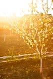 被日光照射了开花的苹果树 图库摄影