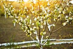 被日光照射了开花的苹果树 库存照片