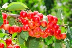 被日光照射了成熟白色更加多雨的樱桃甜水多的莓果 免版税库存图片