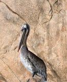 被日光照射了斑点上色了骄傲地栖息在Los卡约埃尔考斯岩石的鹈鹕在土地在Cabo圣卢卡斯巴哈墨西哥结束 免版税库存照片