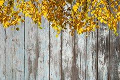 被日光照射了桦树分支与在木板墙壁背景的明亮的黄色叶子有破旧的油漆的 库存图片