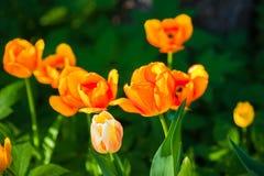 被日光照射了橙色和黄色郁金香在花圃开花 库存图片