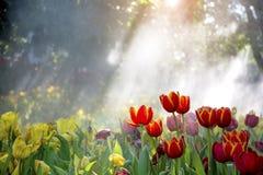 被日光照射了橙黄色郁金香花开花的成长在薄雾的树下 库存图片