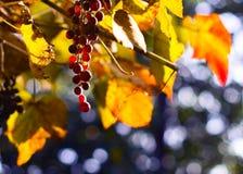 被日光照射了的葡萄刷子  免版税库存照片