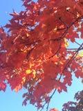 被日光照射了秋天叶子 免版税库存图片